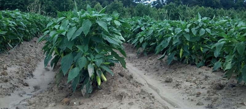 ag crop gallery - banana pepper  - Carolina Precision