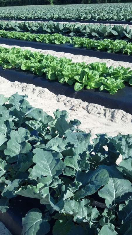 ag crop gallery - broccoli and lettuce - Carolina Precision