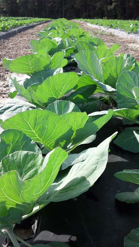 ag crop gallery - cabbage  - Carolina Precision