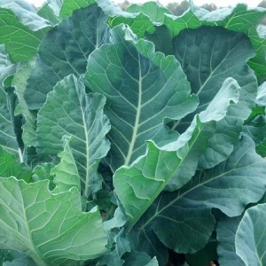 ag crop gallery - collards  - Carolina Precision
