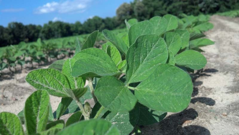 ag crop gallery - organic soybeans  - Carolina Precision