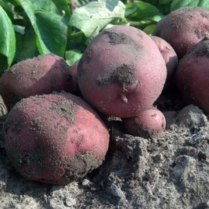 ag crop gallery - red potatoes
