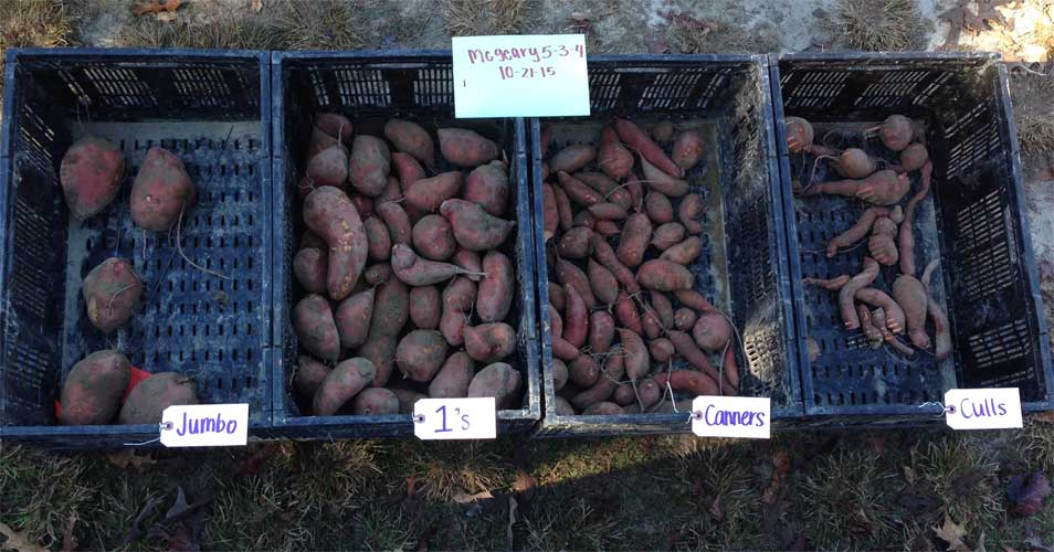 Sweet Potato Harvest - Carolina Precision
