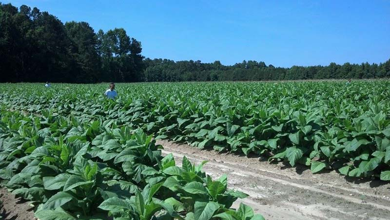 ag crop gallery - tobacco scouts  - Carolina Precision