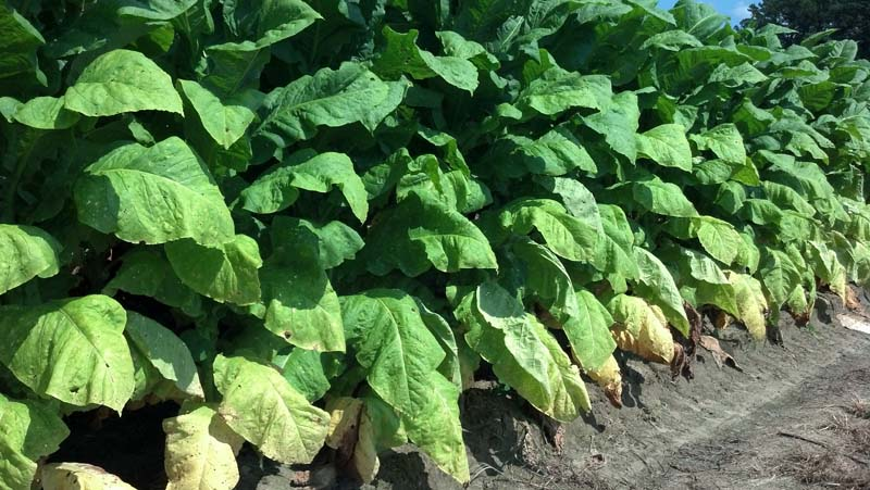 ag crop gallery - tobacco crop