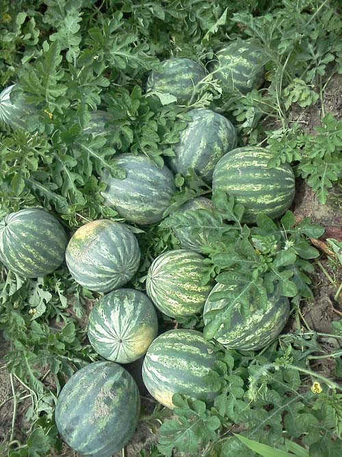 ag crop gallery - watermelon  - Carolina Precision