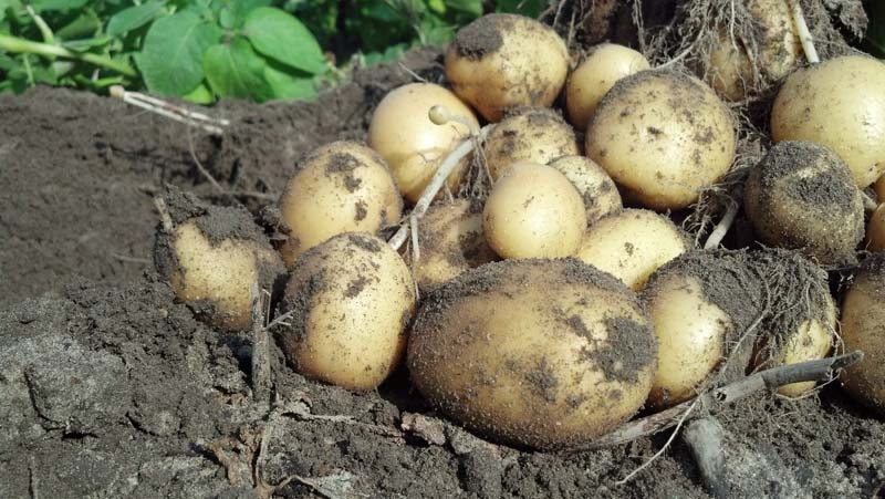 ag crop gallery - yellow potatoes